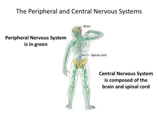 The  Peripheral  and  C entral  N ervous  S ystems