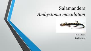 Salamanders Ambystoma maculatum