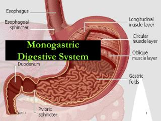 Monogastric Digestive System