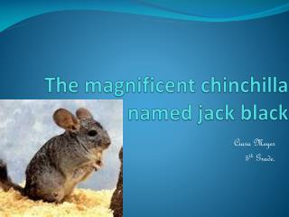 The magnificent chinchilla named jack black
