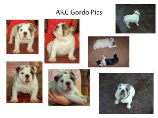 AKC Gordo  Pics