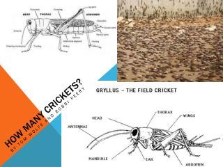 How Many Crickets?