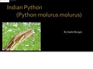 Indian Python (Python  molurus molurus )