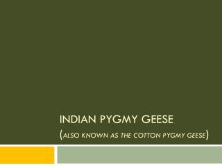 Indian Pygmy  Geese  ( also known as the Cotton Pygmy Geese )