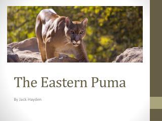 The Eastern Puma