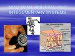 MUSCULAR, SKELETAL, AND INTEGUMENTARY SYSTEMS