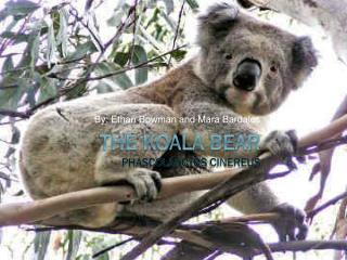 The Koala Bear Phascolarctos cinereus