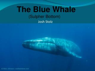 The Blue Whale           (Sulpher Bottom)