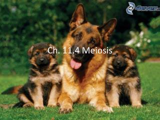 Ch. 11.4 Meiosis