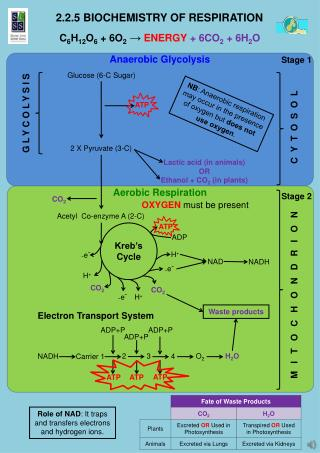 2.2.5 Biochemistry of Respiration