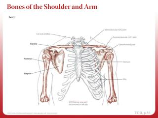 Bones of the Shoulder and Arm