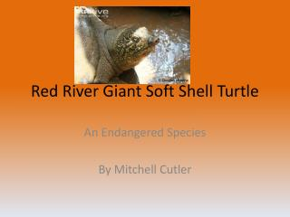 Red River Giant Soft Shell Turtle