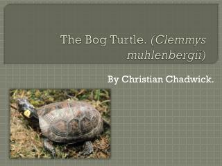 The Bog Turtle.  ( Clemmys muhlenbergii )