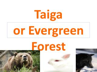 Taiga or Evergreen Forest