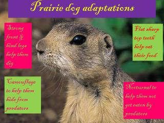 Prairie dog adaptations