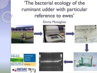 �The bacterial ecology of the ruminant udder with particular reference to ewes�
