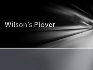 Wilson's Plover
