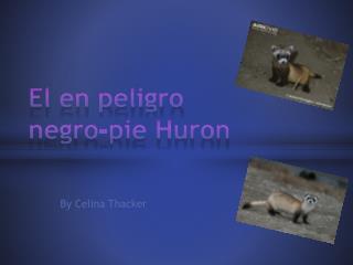El en peligro negro-pie Huron