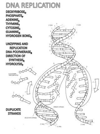 DNA REPLICATION DEOXYRIBOSE D PHOSPHATE P ADENINE A THYMINE T CYTOSINE C GUANINE G HYDROGEN BOND H