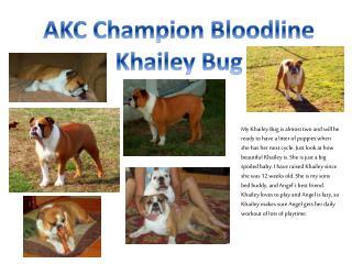 AKC Champion Bloodline  Khailey  Bug