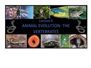 Lecture  6 ANIMAL EVOLUTION: THE VERTEBRATES