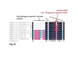 Homeologous-specific variants (HSVs)