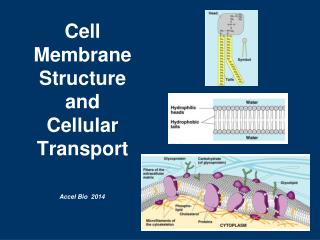 Cell Membrane Structure and  Cellular Transport