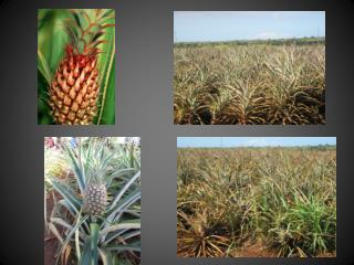 Pineapple Growth Cycle