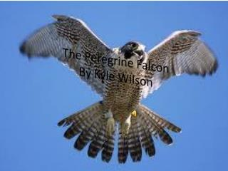 The Peregrine Falcon By Kyle Wilson