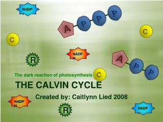 THE CALVIN CYCLE Created by: Caitlynn Lied 2008