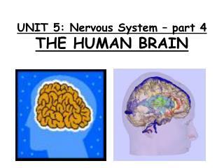 UNIT 5: Nervous System – part 4 THE HUMAN BRAIN