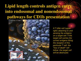 Lipid length controls antigen entry into endosomal and nonendosomal pathways for CD1b presentation