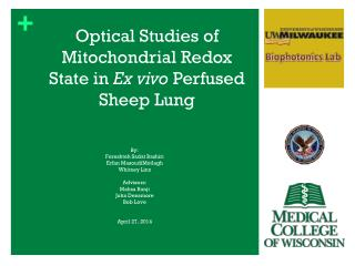 Optical Studies of Mitochondrial Redox State in  Ex  vivo  Perfused  Sheep Lung