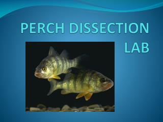 PERCH DISSECTION LAB