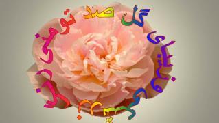 رنگ زرشکی وزیبای گل صد تومنی