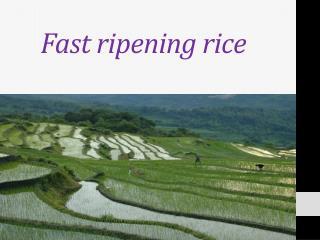 Fast ripening rice