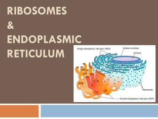 Ribosomes  &  Endoplasmic Reticulum