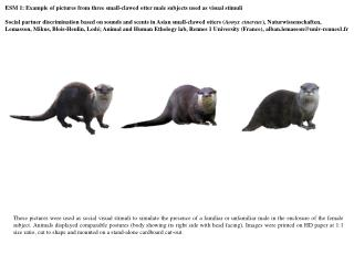 ESM 1:  Example of pictures from three small-clawed otter male subjects used as visual stimuli