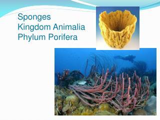 Sponges Kingdom  Animalia Phylum  Porifera
