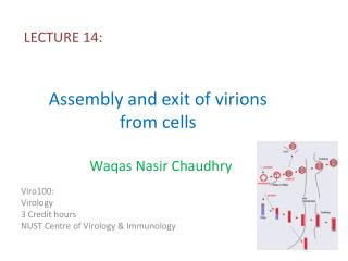 Assembly and exit of  virions  from cells