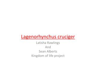 HOURGLASS DOLPHINS Lagenorhynchus cruciger