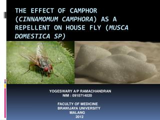 THE EFFECT OF CAMPHOR  ( Cinnamomum camphora ) AS A REPELLENT ON HOUSE FLY ( Musca domestica  sp)
