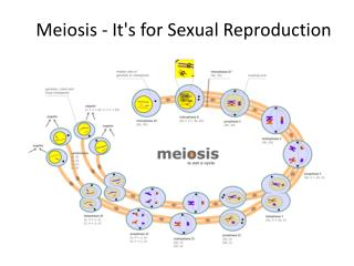 Meiosis - It's for Sexual Reproduction