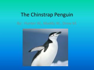 The Chinstrap Penguin