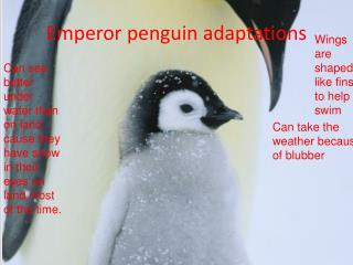 Emperor penguin adaptations