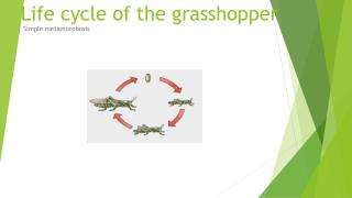 Life cycle of the grasshopper