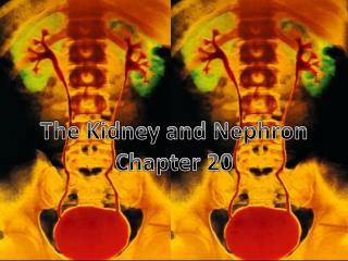 The Kidney and Nephron Chapter 20