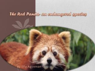 The Red  P anda- an endangered species