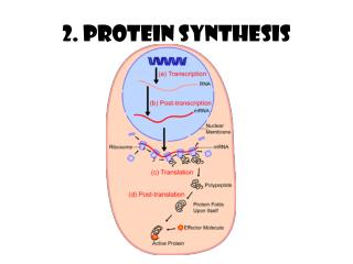 2. Protein Synthesis