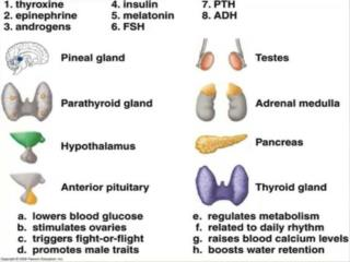 Pineal gland                        5 . melatonin